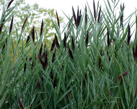 phragmites australis umass amherst landscape nursery