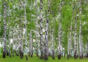 Fototapete Tapete Wald Bume Birken Foto 360 X 254 Cm EBay