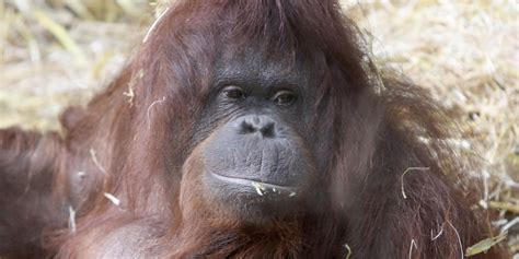 orangutans super freaky talking sheds  light
