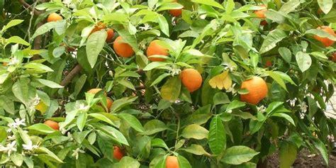 bergamot orange benefits information