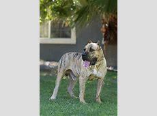 Perro de Presa Canario Dog Breed Information American
