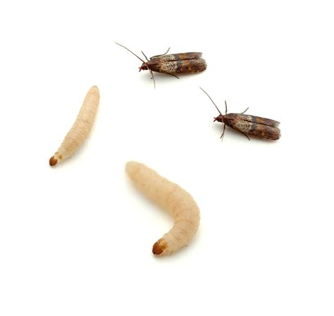 Moths In The Pantry Pantry Pests Pest Products