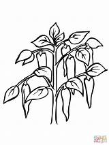 Pepper Coloring Plant Chili Pages Printable Border Vegetables sketch template