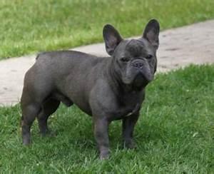 French Bulldog Info, Size, Temperament, Lifespan, Puppies ...