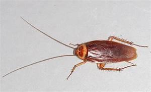 Schaben In Der Wohnung : datei american cockroach wikipedia ~ Eleganceandgraceweddings.com Haus und Dekorationen