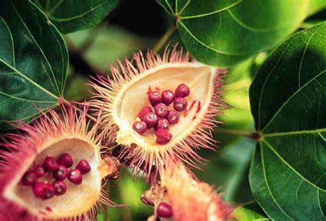 bush medicine  belize  caribbean alternative medicine