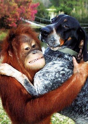 friendship  orangutan  dog daily mail