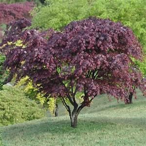 Erable Du Japon Entretien : erable du japon bloodgood arbustes et plantes grimpantes ~ Nature-et-papiers.com Idées de Décoration