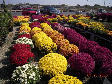 fall mums dayton garden center