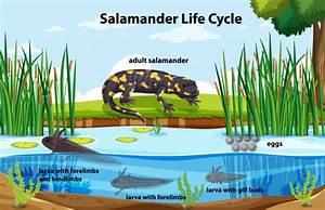 Diagram Showing Salamander Life Cycle Vector