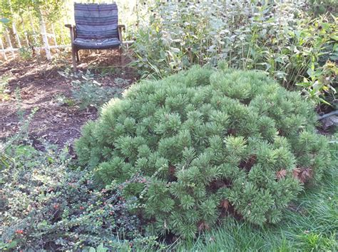 evergreen shrubs best evergreen shrub for under my kitchen window
