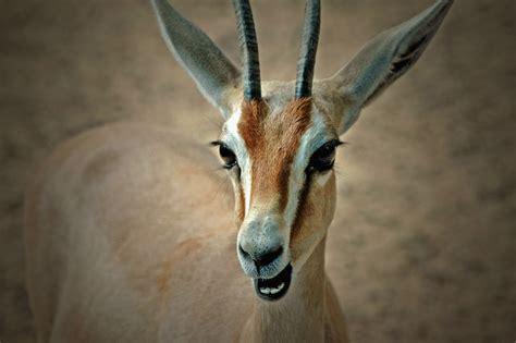 Face, Horns, Wildlife, Impala, Antelope