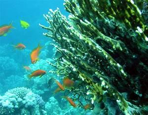 Fire coral - Wikipedia