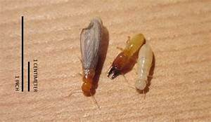 What Do Termites Look Like - Termite Identification