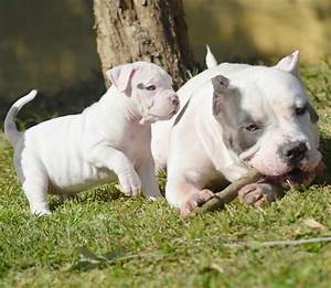 American Bully XL Puppies Puppy for sale,XXL bully pitbull ...