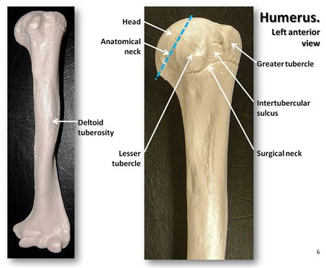humerus anterior view  labels appendicular skeleton