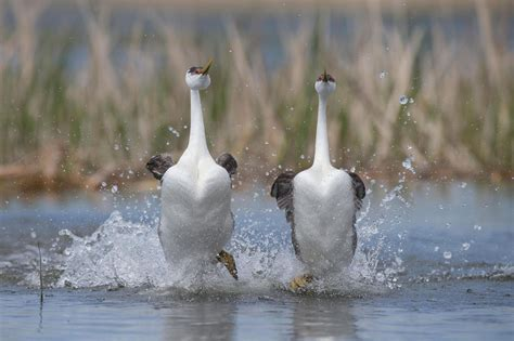moonwalking birds and other crazy courtship rituals
