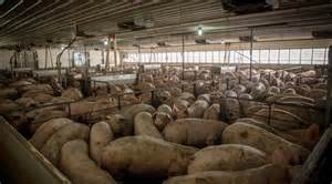 Image result for CAFO for hogs