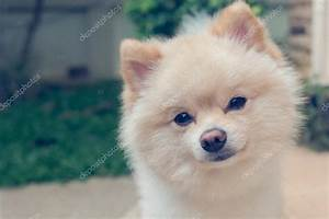Hund Im Haus : westpommern kleiner hund s e haustiere freundlich im haus ~ Lizthompson.info Haus und Dekorationen