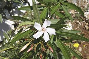 When To Move An Oleander  Tips On Transplanting Oleanders