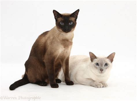 Seal point and Blue point Siamese-cross cats photo - WP32399