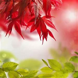 Welche Pflanzen Kann Man Im Herbst Pflanzen : japanischer ahorn f cherahorn acer palmatum pflege ~ Articles-book.com Haus und Dekorationen