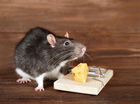 ultraschall gegen mäuse when to call an exterminator for mice elimination