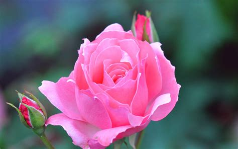 Maybe you would like to learn more about one of these? Rose Flower Wallpapers HD - Wallpaper Cave