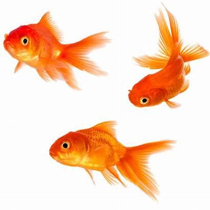 Goldfish Fish Clipart Transparent Pngio Clipground