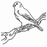 Canary Coloring Bird Pages Happy Female Printable Getcolorings Colorings sketch template