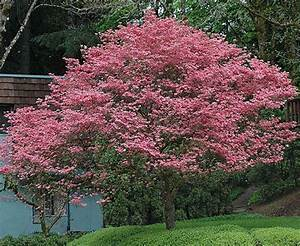 Cornus Florida Rubra : 30 best images about cornus florida rubra on pinterest spring blossoms and spring garden ~ Frokenaadalensverden.com Haus und Dekorationen