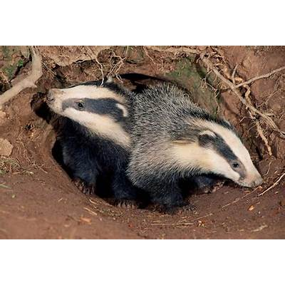 European BadgerTrees for Life