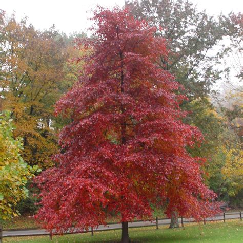 black gum tree gardening how to help a new tree thrive and develop pittsburgh post gazette