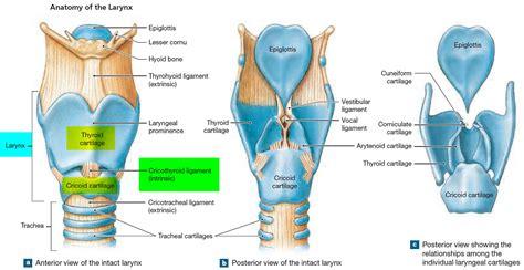larynx anatomy function  respiratory system cancer