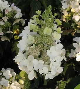 Hydrangea Paniculata Schneiden : les 11 meilleures images du tableau hortensias sur ~ Lizthompson.info Haus und Dekorationen