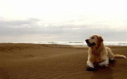 Labrador Dog Retriever Dogs Desktop Background Animals