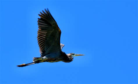 great blue heron in flight 171 tonyparsley ohionature