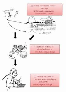 Modes Of E  Coli O157 H7 Transmission To Humans With Emphasis On