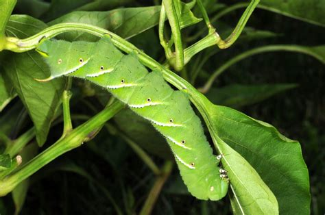 insect expert for hornworms other garden pests