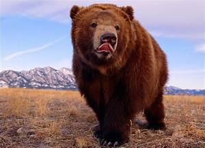 Brown Bear Pictures   Pictures   Bears