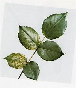 Kirschlorbeer Braune Blätter : rosensch dlinge und krankheiten rosenparadies loccum ~ Lizthompson.info Haus und Dekorationen