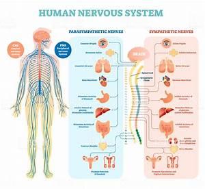 Human Nervous System Medical Vector Illustration Diagram