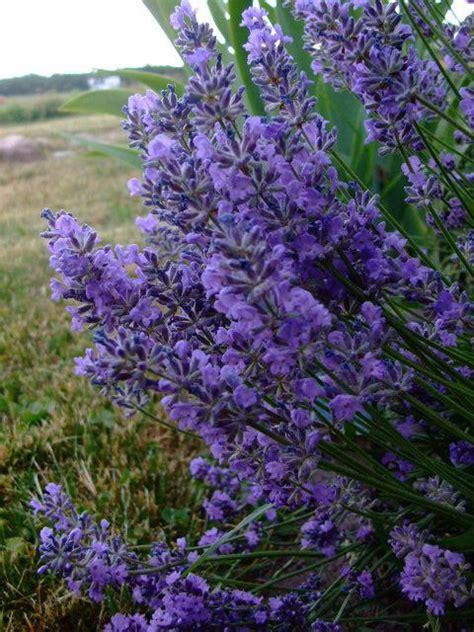 planting lavender seeds plants in nanopics lavender plants