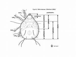 Mite Anatomy  Mites