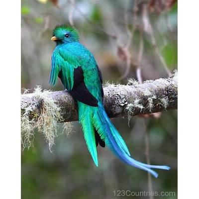 National Bird Of Guatemala Resplendent Quetzal