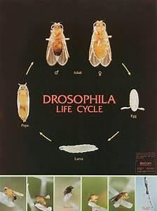 Drosophila Life Cycle Chart