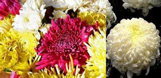 bunga krisan  fakta dibaliknya safa flower  bouquet