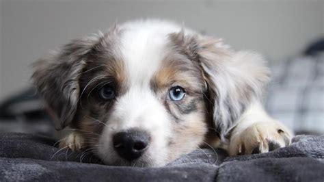 cutest border collie puppy  ultrahd wallpaper