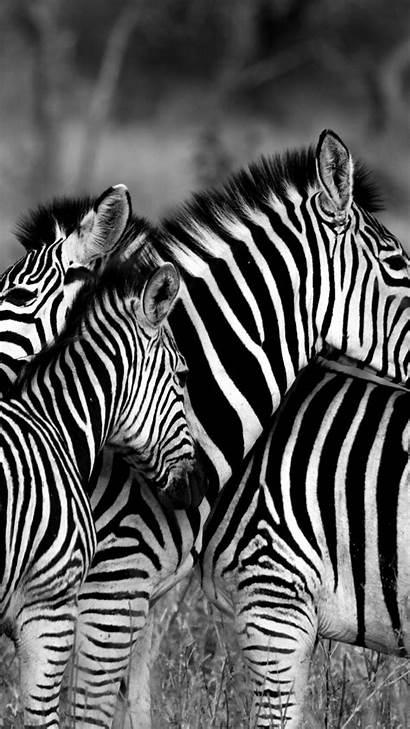 Zebra 4k Animals Wallpapers Animal Couple 8k