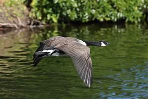 Canada Goose Jacket Wiki Canada Goose Chilliwack Parka Sale Cheap